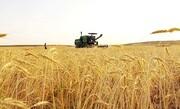 خودکفایی در تولید گندم به فنا رفت