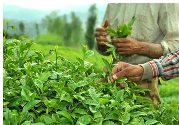 قیمت بهترین چای ایرانی، نصف قیمت چای خارجی است