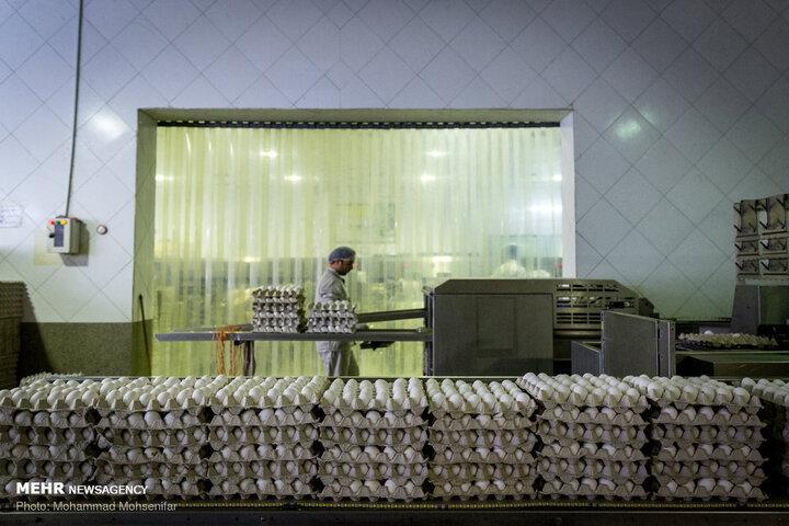 افت تولید دلیل گرانی تخم مرغ است