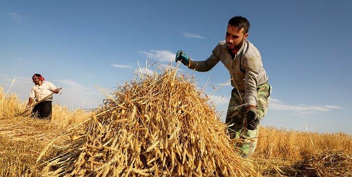 زمان پرداخت مطالبات گندمکاران به ۴ روز کاهش می یابد