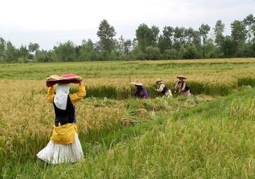 برنج به کیلویی ۵۰ هزار تومان میرسد؟