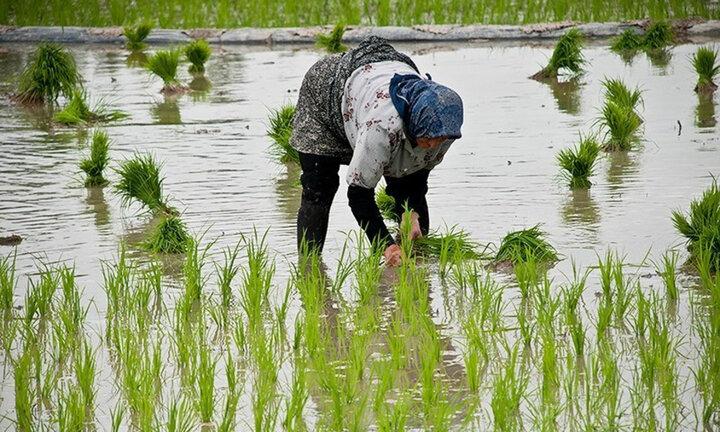 بازار پررنج برنج/گرانی بیرحمانه در بازار میتازد/منشأ گرانی برنج چیست؟/ستـــــادی برای تنظیم نکردن بازارکالاهای اساسی!