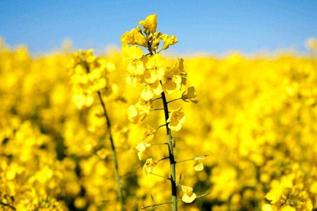 سه راهکار خودکفایی در تولید دانه های روغنی/چرا اقدامی  اساسی صورت نمی گیرد؟