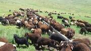 راهکار ارتقای صنعت پرورش گوسفند/ اصلاح نژاد بومی به جای واردات گوسفند