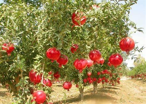 دل خون انارکاران از بیتوجهی مسئولان/میوه بهشتی در جهنم مشکلات میسوزد!