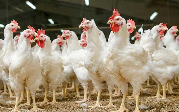 مرغ گرانتر است یا تخممرغ؟   هزینههای تولید سرسامآور است