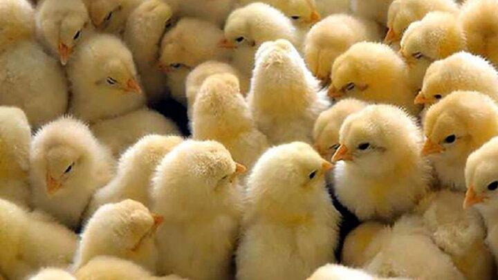 پیشبینی التهاب در بازار مرغ اردیبهشت/ ۲۵ میلیون قطعه از برنامه جوجهریزی عقب هستیم/ تشکیل بازار سیاه برای جوجه یکروزه